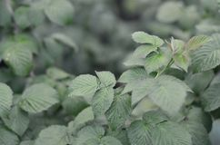 Photo of a few green leaves from a raspberry bush. Growing bush of raspberry. Macro photo with blurred backgroun. D Royalty Free Stock Photos