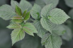 Photo of a few green leaves from a raspberry bush. Growing bush of raspberry. Macro photo with blurred background Royalty Free Stock Photos