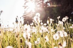 Field with dandelions in summer. Horizontal photo royalty free stock images