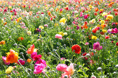 Photo of field of flowers , image is vintage style filtered. selective focus. Royalty Free Stock Images