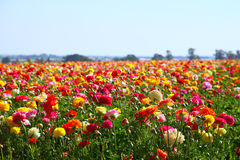 Photo of field of flowers , image is vintage style filtered. selective focus. Stock Image