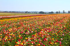 Photo of field of flowers , image is vintage style filtered. selective focus. Royalty Free Stock Image