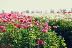 Photo of field of flowers , image is vintage style filtered. selective focus Royalty Free Stock Images