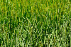 Photo of field of green rice growing in nature Stock Photography