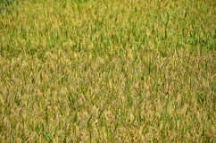 Photo of field of green rice in nature Royalty Free Stock Photos