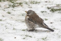 A Fieldfare on a snowy background Stock Image