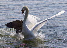 Photo of the fight between the Canada goose and the swan Royalty Free Stock Images