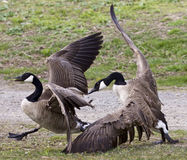 photo with a fight between two Canada geese Stock Photo