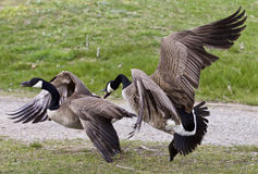 Photo of a fight between two Canada geese Stock Photography