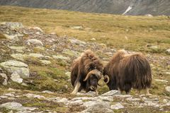 Fighting Musk oxen Norway. This is a photo of fighting musk oxen in Dovrefjell National park in Norway stock photo