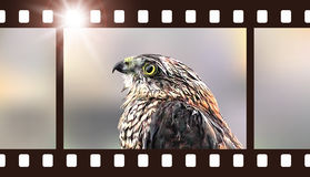 Photo film with hawk. Vector illustration of predatory bird. Photo film with hawk. Wildlife photography. Vector illustration of predatory bird Royalty Free Stock Photography