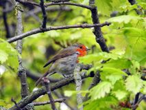 Baby british robin bird red breast preening perched on tree branch. Photo of a fledged fledgling british baby robin red breast bird preening itself on branch of stock image