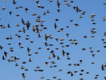 Photo of flock of birds with a blue sky Stock Image