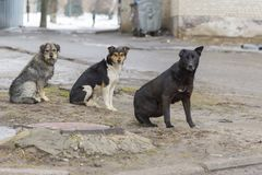 Flock sad homeless dogs on a cold spring afternoon. Photo of flock sad homeless dogs on a cold spring afternoon Royalty Free Stock Images