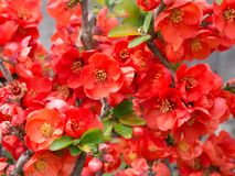 Flower of quince. This is a photo of the flower of quince Royalty Free Stock Photography