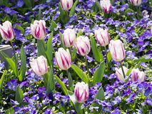 Flower of tulips and pansies Stock Images