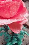 Photo of flower which have drops stock photo