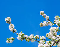 Photo of flowering branch of apple tree in spring against the bl Stock Photos
