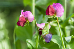 Photo flowering sweet pea. Photo flowering of sweet pea closeup outdoors stock images