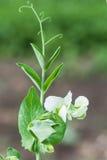 Photo flowering sweet pea Royalty Free Stock Photo