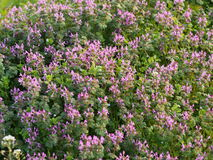 Flowers of henbit. This is a photo of the flowers Royalty Free Stock Photography