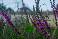 Photo of flowers of hyssop. At sunset royalty free stock image