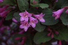 The photo of flowers Weigela Royalty Free Stock Image