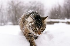 Cat in the snow. Photo of a fluffy striped cat sitting in the snow Stock Images