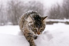 Cat in the snow. Photo of a fluffy striped cat sitting in the snow Stock Photos