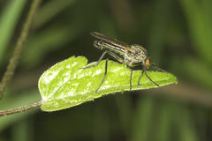 Photo of a fly close up on a leaf. Photo of a fly close up on a green leaf Stock Photo