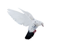 Isolated white dove with black tail Royalty Free Stock Image