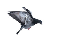 Dark dove isolated on white Royalty Free Stock Images