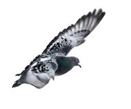Dark pigeon flying  on white Stock Photography
