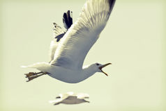 Photo of flying seagulls Royalty Free Stock Images