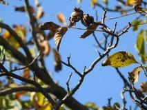 Two walnuts on the walnut tree Royalty Free Stock Image