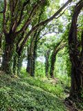 Tropical Forest Growth in Hilo Hawaii royalty free stock photos