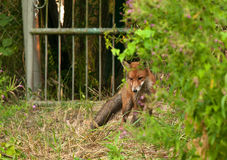 Photo of fox in summer, hunting for a mole.Horizontal. Poland in summer , fox lurked in the undergrowth and looks for a mole exiting from its mound.Horizontal stock image