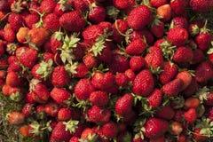 Photo fraîche de fraise Images stock