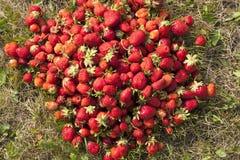Photo fraîche de fraise Images libres de droits