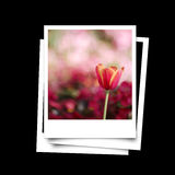 Photo frame of red tulip isolated on black background Stock Images