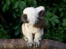 Photo franche des singes au dessus du coton de Tamarin de mère et de bébé Photo stock