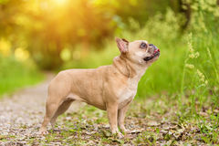 Photo of a French Bulldog Stock Photography