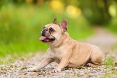 Photo of a French Bulldog Royalty Free Stock Photos