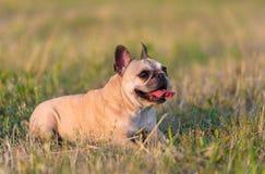 Photo of a French Bulldog Stock Photos