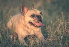 Photo of a French Bulldog Stock Image
