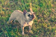 Photo of a French Bulldog Stock Photo