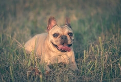 Photo of a French Bulldog Stock Images