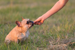 Photo of a French Bulldog Royalty Free Stock Images