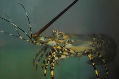 Photo of a fresh and live lobster in a aquarium. stock photos