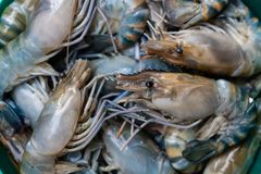 Fresh river prawn is ready to cook. Photo of Fresh river prawn is ready to cook royalty free stock photos